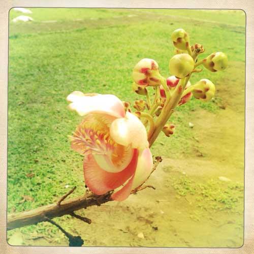 Fleur au Wat Chiang Man